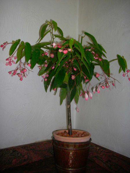 Begonia tamaya mes plantes un petit coin de paradis - Begonia d interieur arrosage ...