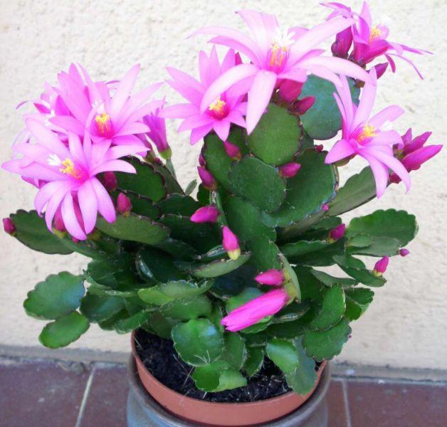 cactuspquesrose.jpg