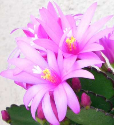fleurcactuspaques.jpg