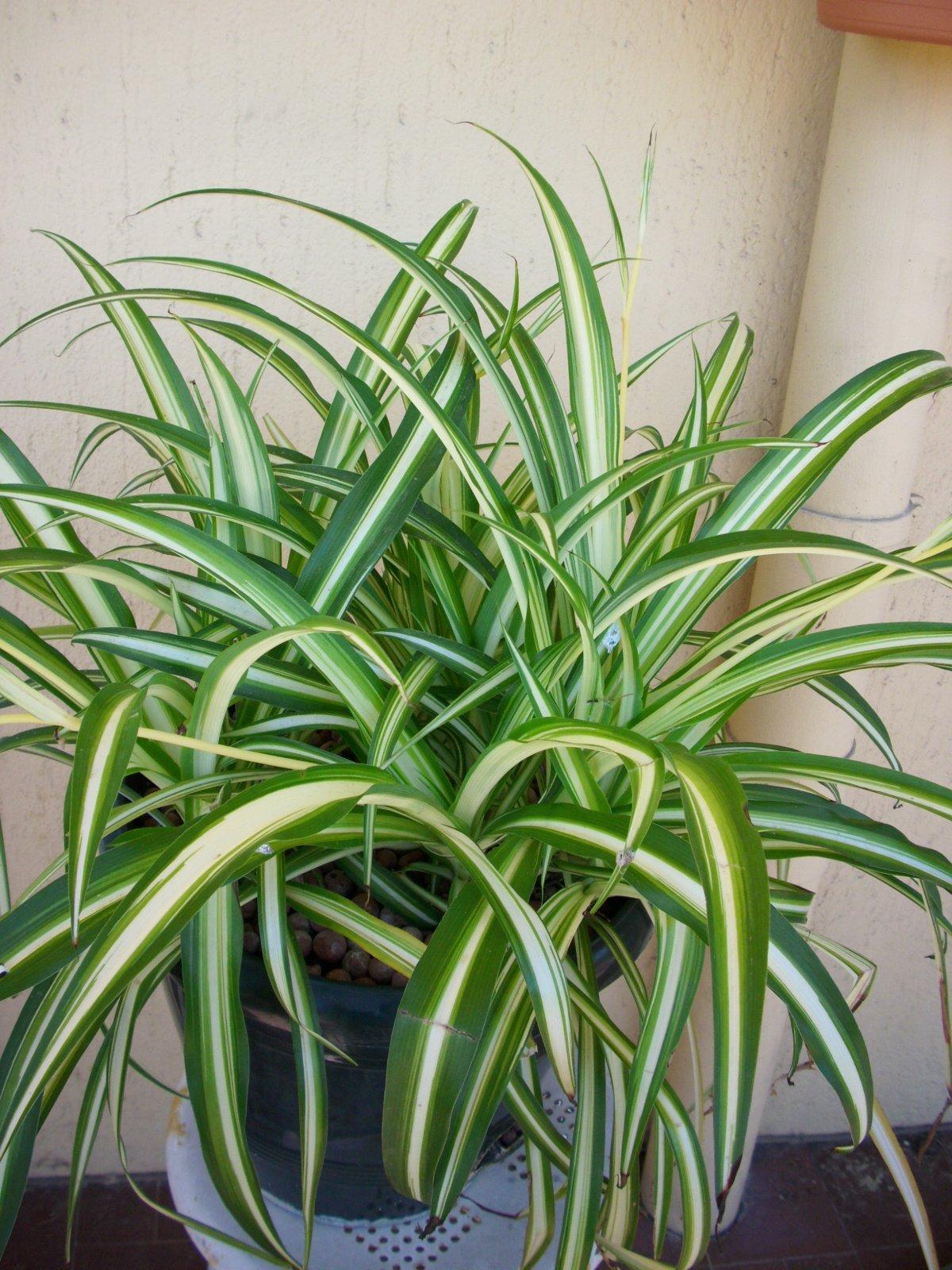 Chlorophytum mes plantes un petit coin de paradis for Plante d interieur retombante