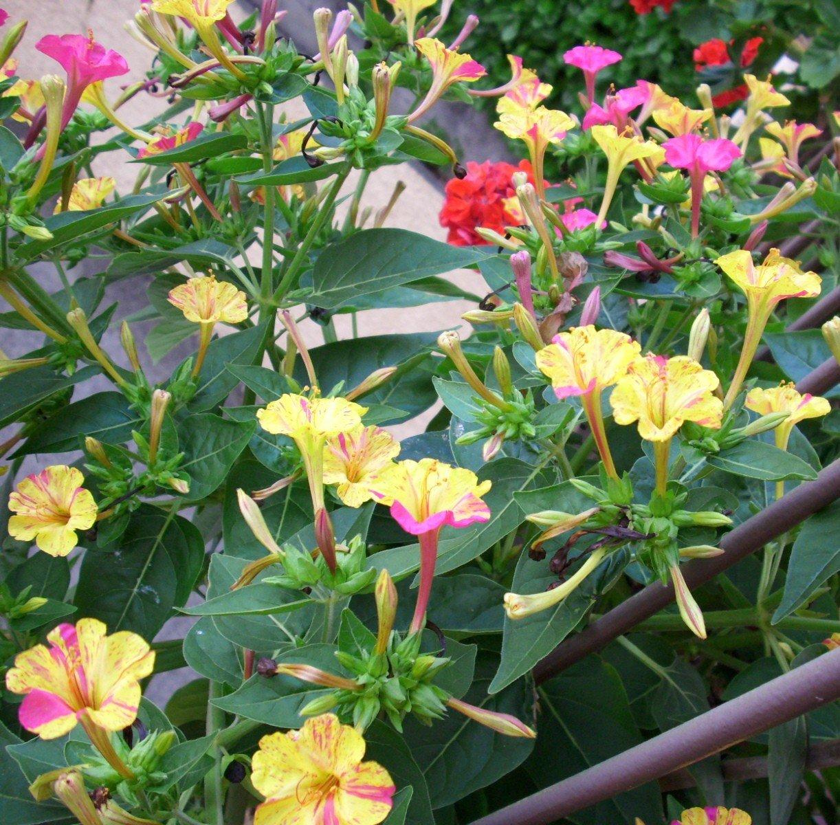 Belle de nuit mes plantes un petit coin de paradis - Belle de nuit plante ...