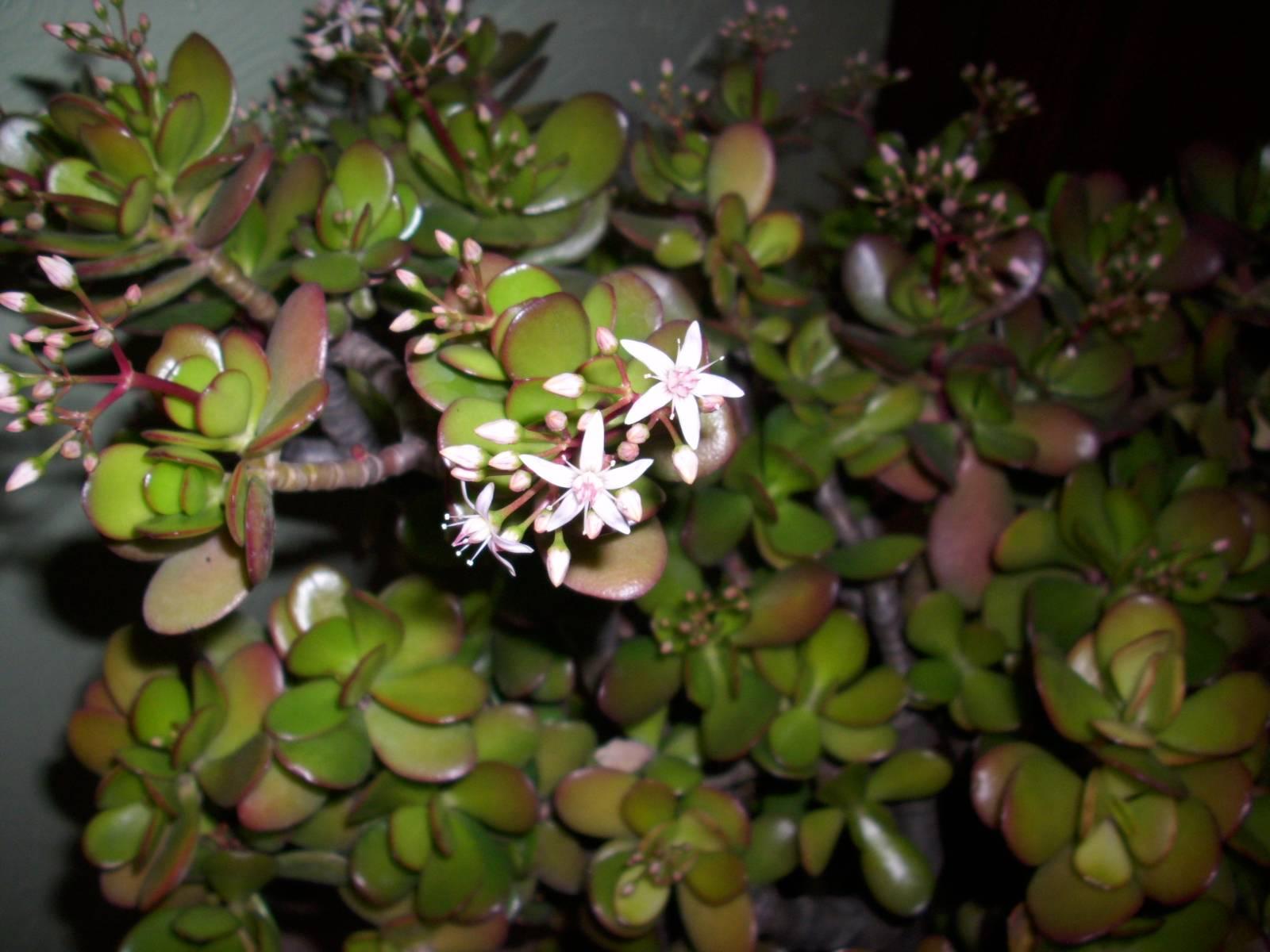 Arbre de jade crassula ovata mes plantes un petit coin de paradis - Entretien orchidee apres floraison ...